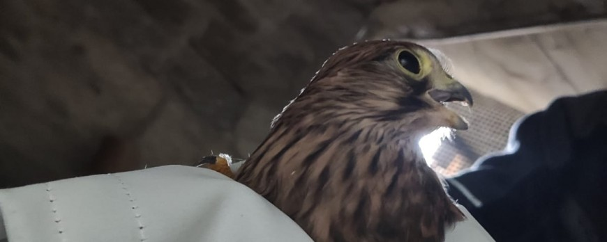 Unser Falke fliegt wieder